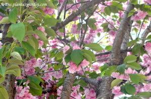 Prunus serrulata Kanzan detalle de follaje