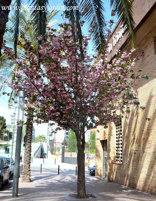 Prunus serrulata Kanzan en las calles de Nou Barris Barcelona
