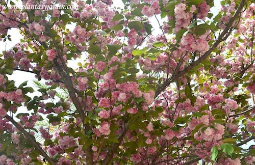 Prunus serrulata Kanzan florecido a comienzos de la primavera