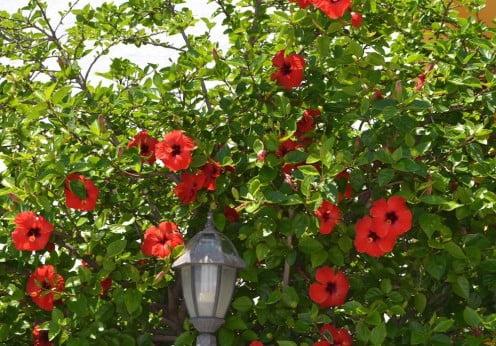 Rboles peque os plantas jard n for Arboles con flores para jardin