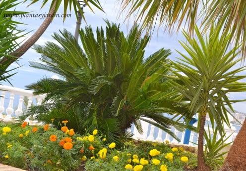 jardines junto al mar Cycas, Cordyline y Tagetes