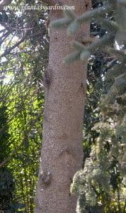 Abies pinsapo detalle del tronco