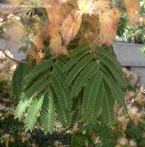 Albizia julibrissin Acacia de Constantinopla detalle de hojas plumosas