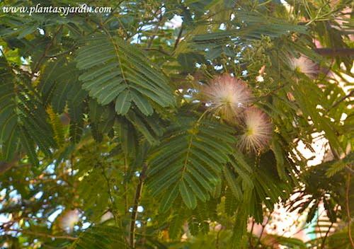 Albizia julibrissin detalle de hojas compuestas y bipinnadas