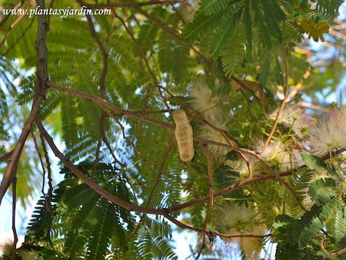 Albizia julibrissin detalle del fruto una legumbre aplanada