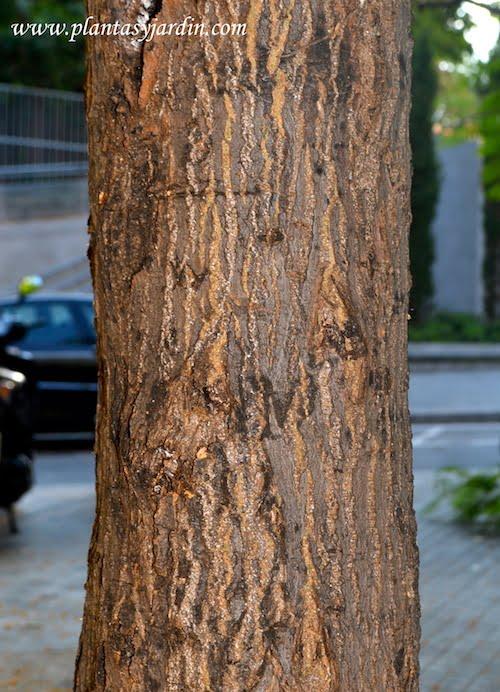 Albizia julibrissin detalle del tronco