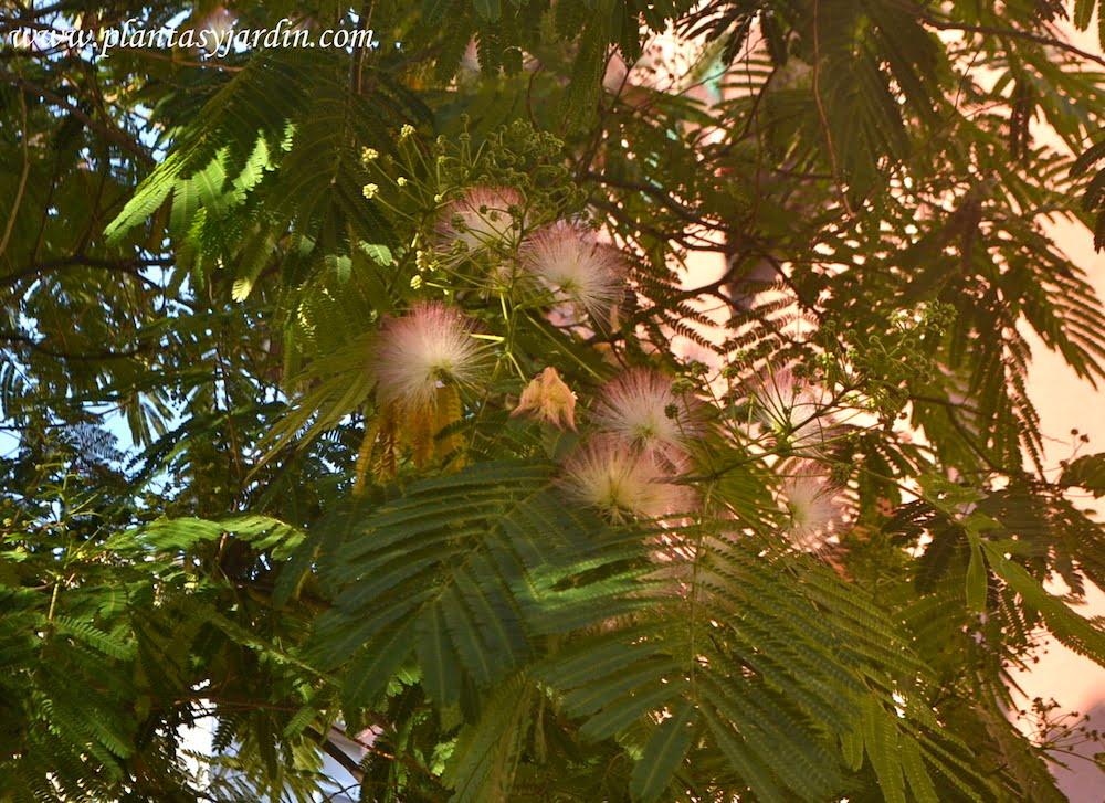 Albizia julibrissin florecida en primavera