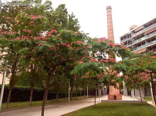Albizia julibrissin la Acacia de Constantinopla florecida a finales de la primavera