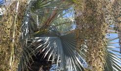 Brahea armata detalle de hojas costapalmadas de color grisáceo azulado