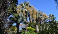 Brahea armata, la palmera azul plantadas en grupo en el Jardin de Marimurtra en Blanes junto al mar mediterraneo