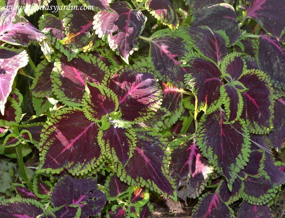 coleus sin nimo de solenostemon la cretona plantas jard n