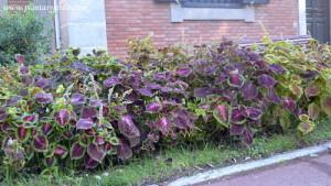 Coleus cultivada en macizos florales en el jardín de Joan Maragall