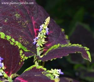 Coleus detalle de pequeñas flores en espiga