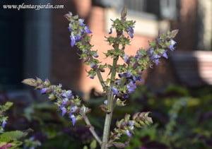 Coleus en flor detalle de espiga floral
