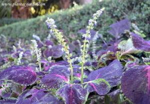 Coleus, la Cretona florecida a comienzos del otoño