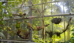 Tillandsias en el Hortus Botanicus de Ámsterdam