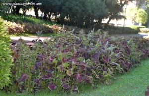 Extensos macizos de Coleus en el jardín de Joan Maragall en BCN