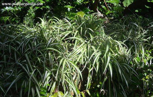 Chlorophytum comosum en el Jardin de Marimurtra, Blanes
