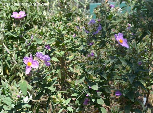 Cistus albidus florecido a comienzos de la primavera en un jardin junto al mar mediterráneo