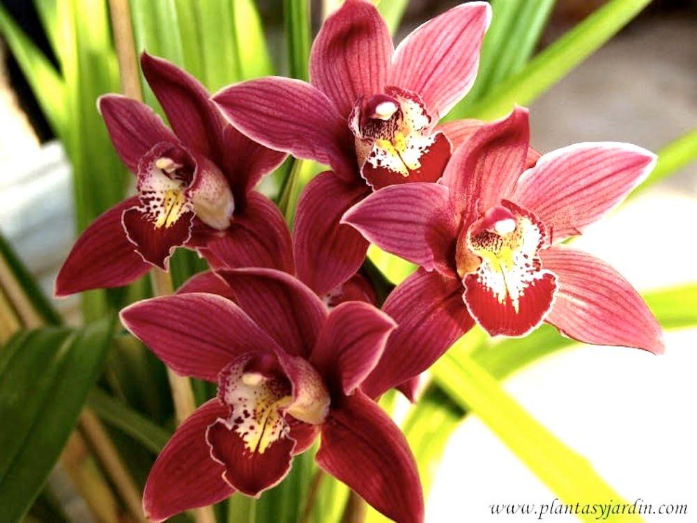 Cuidados b sicos de las orqu deas plantas jard n for Cuidados orquideas interior