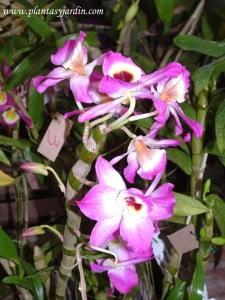 Dendrobium, fucsia