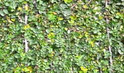 Ficus repens sinónimo de Ficus pumila, Enamorada del muro, Ficus higuera o trepador