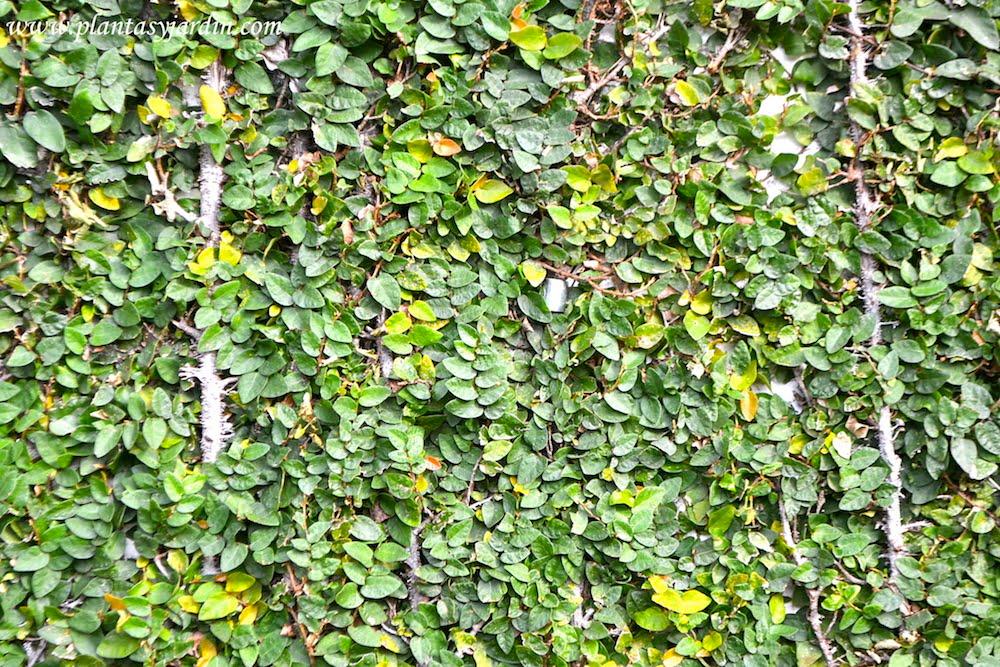 Ficus repens o pumila la enamorada del muro plantas for Plantas trepadoras para muros