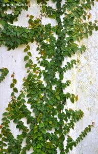 Ficus repens sinónimo de Ficus pumila adherida a la pared mediantes sus raíces adventicias