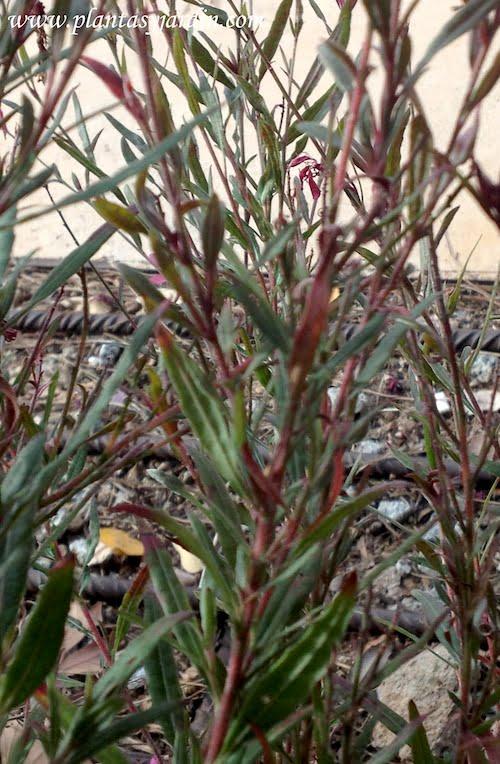 Gaura detalle de hojas sésiles y lanceoladas