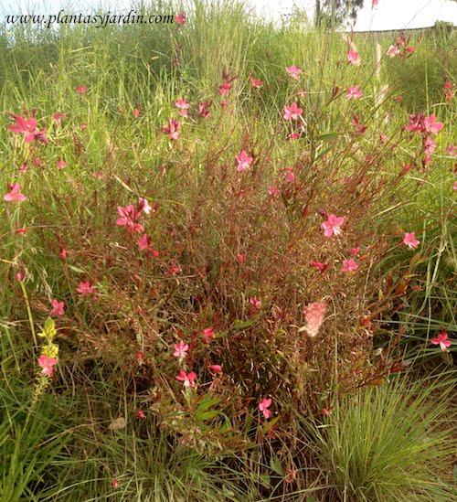 Gauras en flor desde la primavera hasta comienzos del otoño