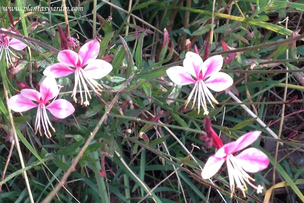 Gauras florecidas a finales del otoño