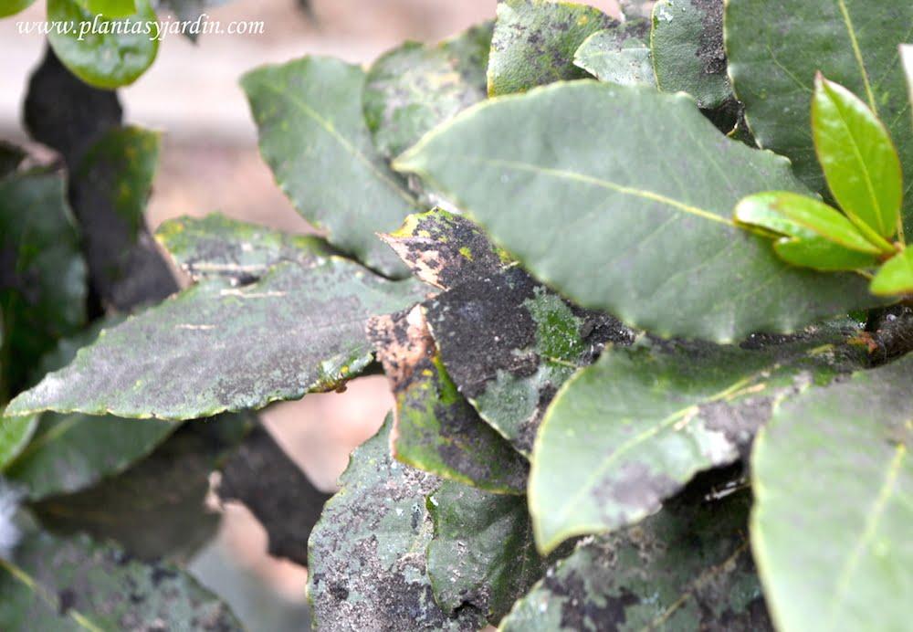 Hojas de Laurel con negrilla o fumagina y melaza o melado