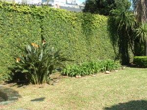 Medianera cubierta con Ficus repens o pumila. Agapanthus y Strelitzia