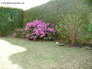 Medianera cubierta con Ficus repens o pumila. Azaleas simples y Hortensia