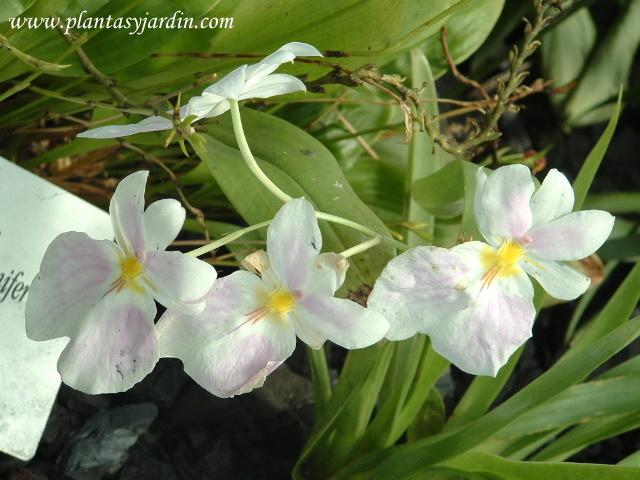 Orquídeas terrestres en el Jardín Botánico de Bogotá