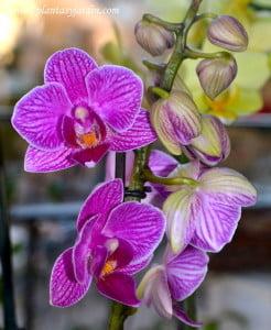 Phalaenopsis vara floral fucsia