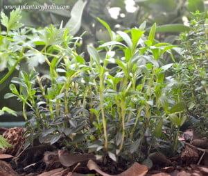 Satureja hortensis, la Ajedrea con brotes nuevos