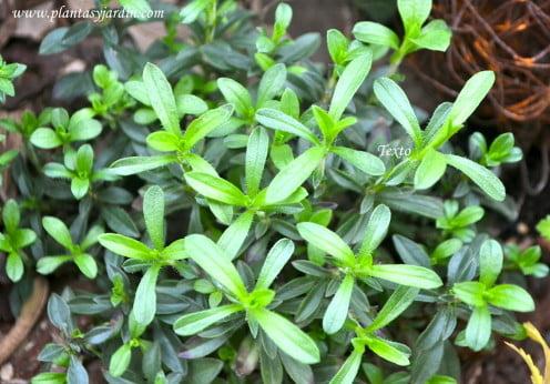 Satureja hortensis, la Ajedrea