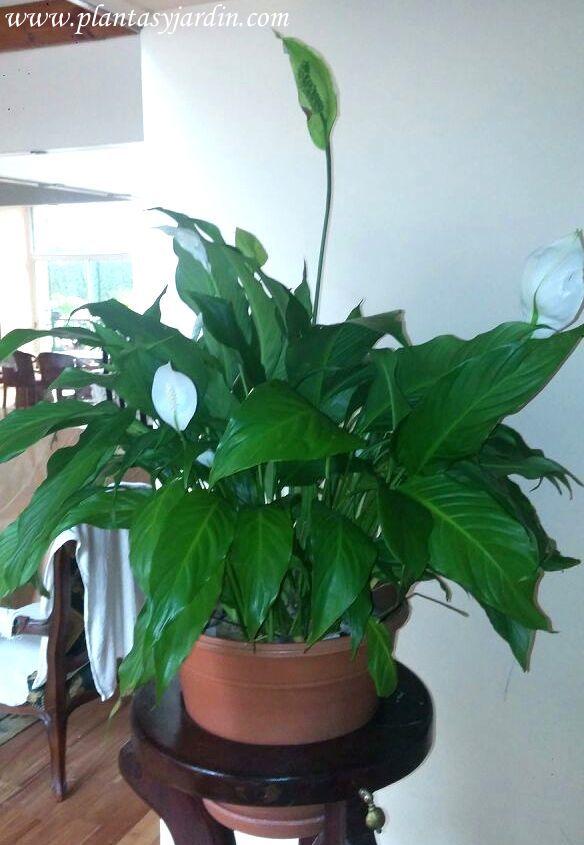 Spathiphyllum una excelente planta de interior plantas - Enfermedades de las plantas de interior ...