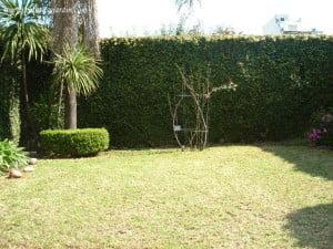 Medianeras del jardín cubierta con Enamorada del muro o Ficus trepador o higuera. Vista de Pindó y rosal