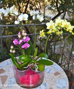 Phalaenopsis, arreglo floral de 3 Orquídeas