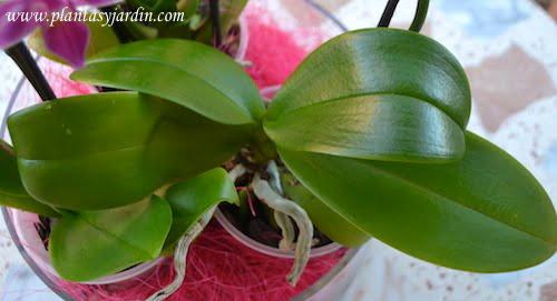 Phalaenopsis detalle del follaje