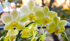 Phalaenopsis vara floral