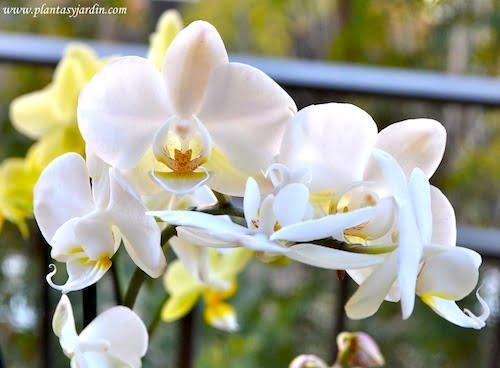 Phalaneopsis vara floral blanca