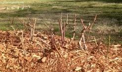 Rosales podados en invierno con un acolchado de corteza de pino