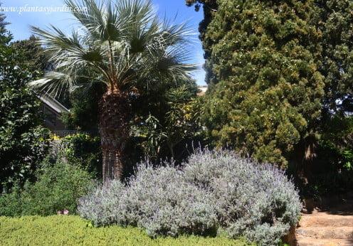 Lavandas y Ciprés mediterráneo en el Jardín de Marimurtra en Blanes, la costa Brava de Catalunya