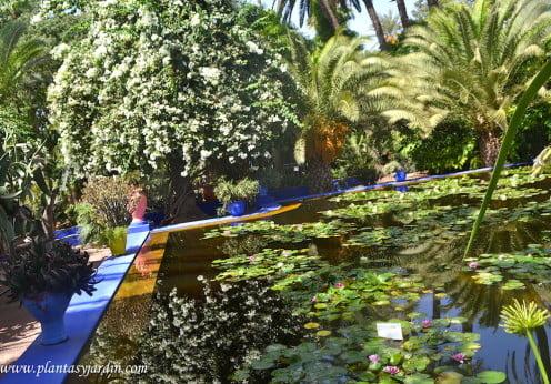 Estanque con Nenúfares y Lotos rodeados de color y plantas en el Jardín de Majorelle en Marrakech
