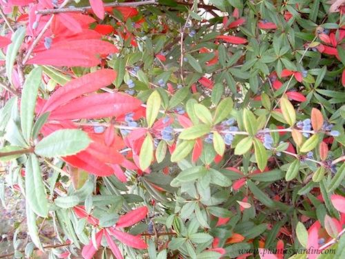 Berberis julianae de follaje perenne y colorido otoñal