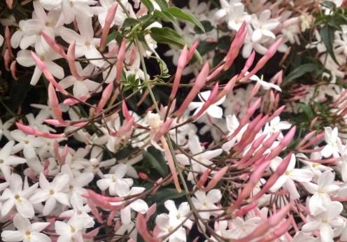 Jasminum polyanthum con pimpollos que van del púrpura oscuro al rosa antes de abrir la flor de color blanco