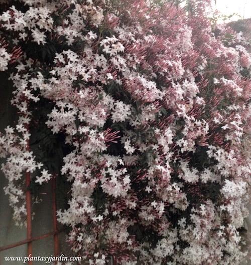 Jasminum polyanthum florecido a finales del invierno